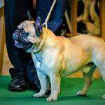 Beyond Balboa French Bulldog of Rodau