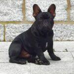 Exquisite Pitt French Bulldog of Rodau