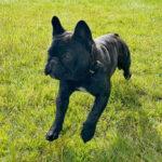 Georgie Boy French Bulldog of Rodau